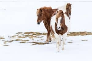 How do I know if a horse is cold?